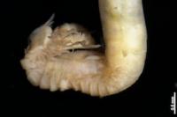 Découverte de neuf nouvelles espèces de vers marins