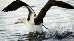 Les oiseaux marins détoxifient le mercure ingéré dans leur alimentation